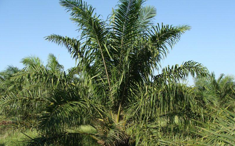 ONG ambientalista advierte que prohibir el aceite de palma puede ser peor para el medioambiente