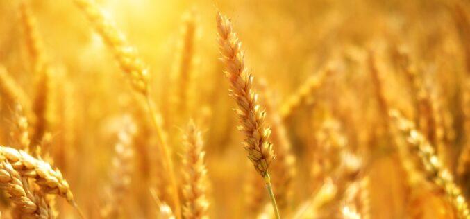¿Son los trigos modernos peores para la salud y el medio ambiente?